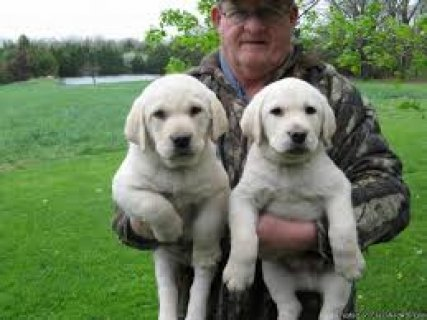 male and female Labrador puppies for your loving home