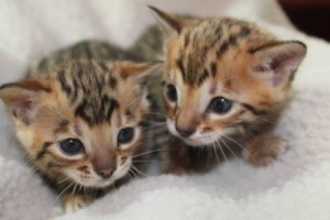 صور Adorable Bengal kittens 1