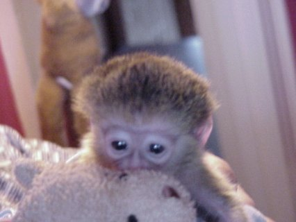 Little Sweet Marmoset Monkey   We have female Marmoset monkey fo