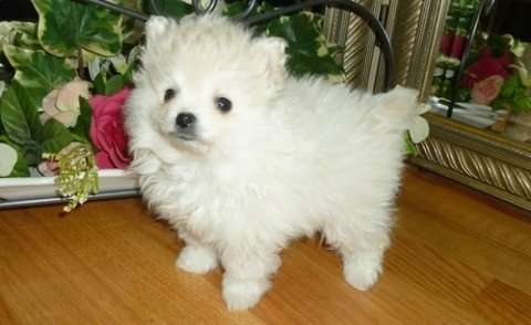 Amazing Pomeranian puppies for adoption
