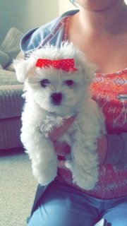 صور Healthy Maltese Puppies Available   1