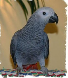 Healthy African Grey Parrot for sale