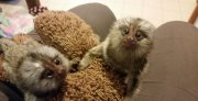 Nice Male and female Marmoset monkeys babies ready for sale