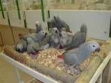 African Grey parrots and parrot eggs for saleg