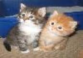 Adorable Highlander Kitten for Rehoming