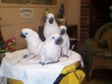Umbrella Cockatoos parrots for Sale