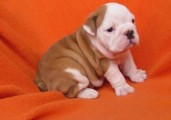 CHARMING AND AMAZING ENGLISH BULLDOG PUPPIES FOR SALE