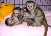 Marmoset And Capuchin Monkeys For Adoption