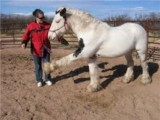 Gypsy Vanner Horse for sale